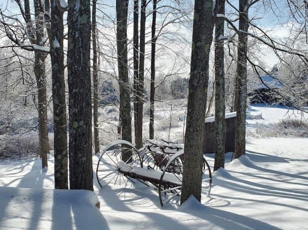 Winter Maple Trees